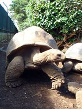 giant-turtles-at-casela-nature-and-leisure-park1