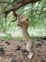 lion-casela-nature-and-leisure-park-mauritius
