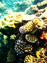 koralle1
